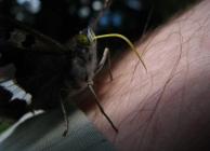 Antal András - A pillangó