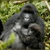 A kongói gorillák nincsenek veszélyben