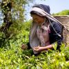 A Távol-kelet titkai: a Tea és Ló útján