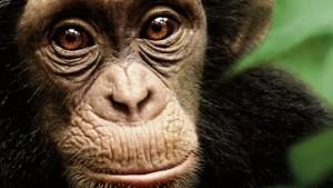 Film az árva csimpánzkölyökről