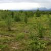 A tundrán erdők válthatják fel a törpecserjéket