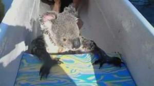 Koala a kenuban