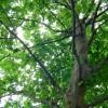 Keleti platánfa lett Az év fája