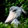 A papucscsőrű madár sötét oldala