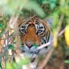Ázsia utolsó tigrisei: Dzsungel király nélkül!