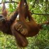Veszélyeztetett orángutánok új populációjára bukkantak Borneón! (videóval)
