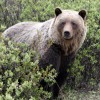 Farkasok segítik jóllakni a medvéket