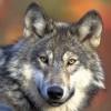 Azonosítani lehet a farkasokat üvöltésük alapján