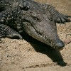 "A krokodilok alkalomadtán ""vegák"" is"