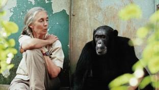 Évekig élt csimpánzok között