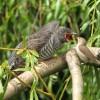 Honnan tudja a kakukkfióka, hogy valójában milyen madár?