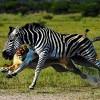 Miért csíkos a zebra?