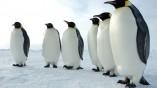 Két méter magas volt az antarktiszi óriáspingvin