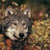 Összefogás a hazai farkasok védelmében